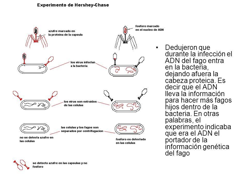 Dedujeron que durante la infección el ADN del fago entra en la bacteria, dejando afuera la cabeza proteica.