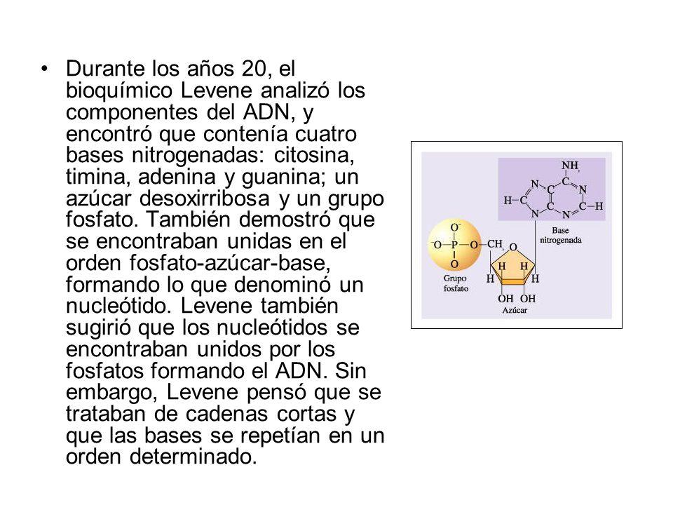 Durante los años 20, el bioquímico Levene analizó los componentes del ADN, y encontró que contenía cuatro bases nitrogenadas: citosina, timina, adenina y guanina; un azúcar desoxirribosa y un grupo fosfato.