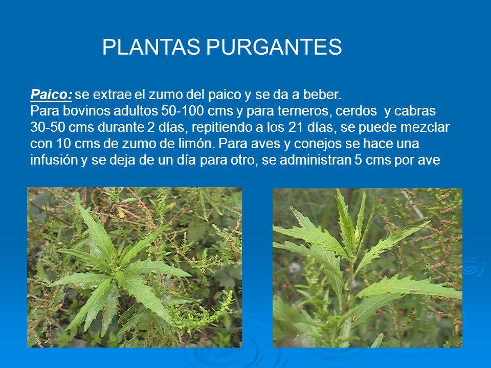 PLANTAS PURGANTES Paico: se extrae el zumo del paico y se da a beber.
