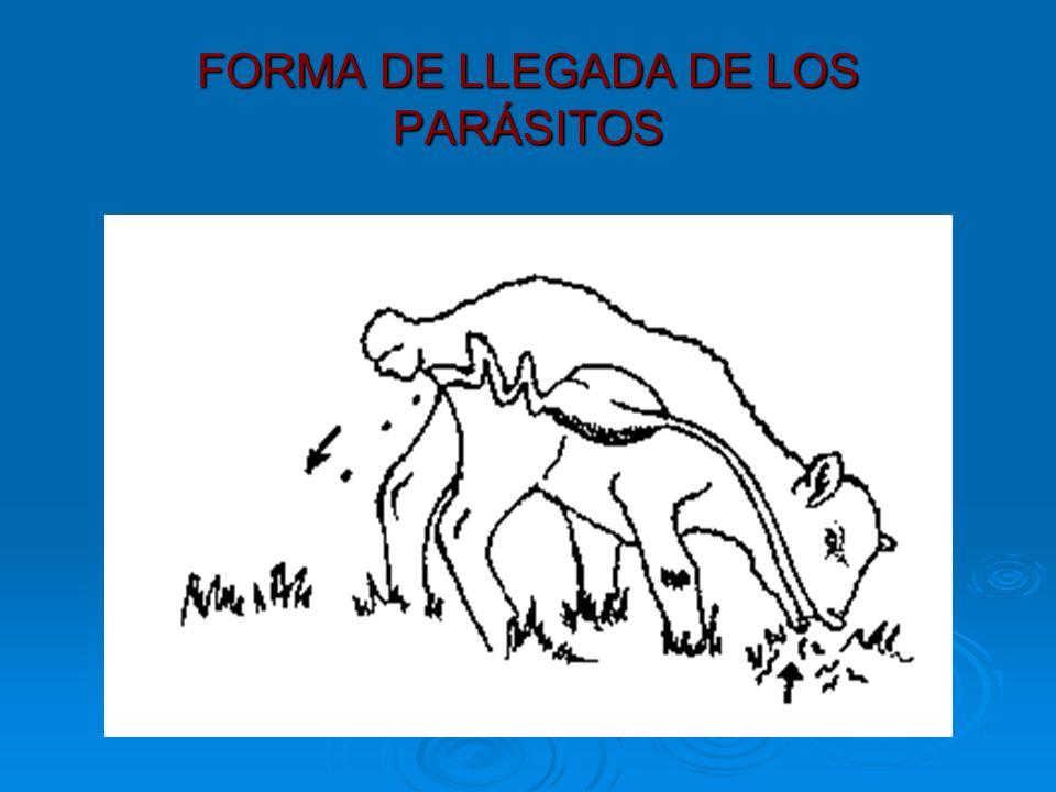 FORMA DE LLEGADA DE LOS PARÁSITOS