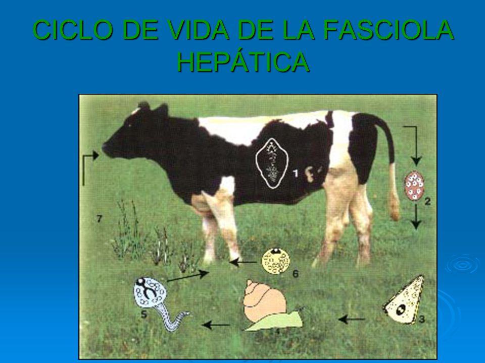 CICLO DE VIDA DE LA FASCIOLA HEPÁTICA