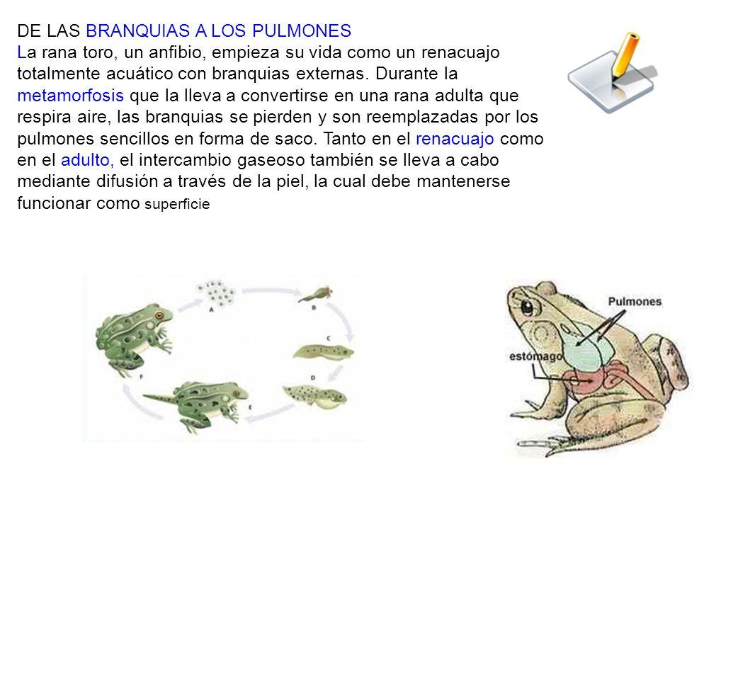 DE LAS BRANQUIAS A LOS PULMONES