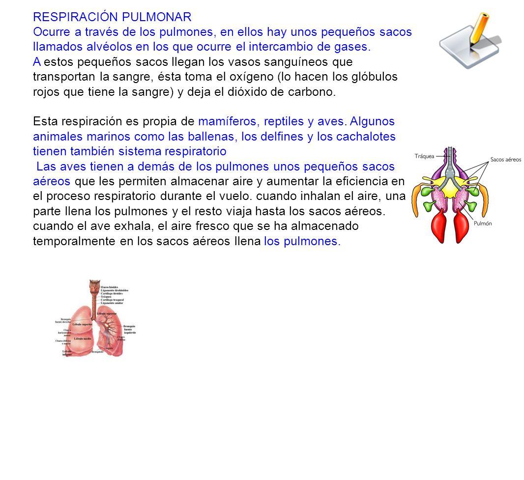 RESPIRACIÓN PULMONAR Ocurre a través de los pulmones, en ellos hay unos pequeños sacos llamados alvéolos en los que ocurre el intercambio de gases.