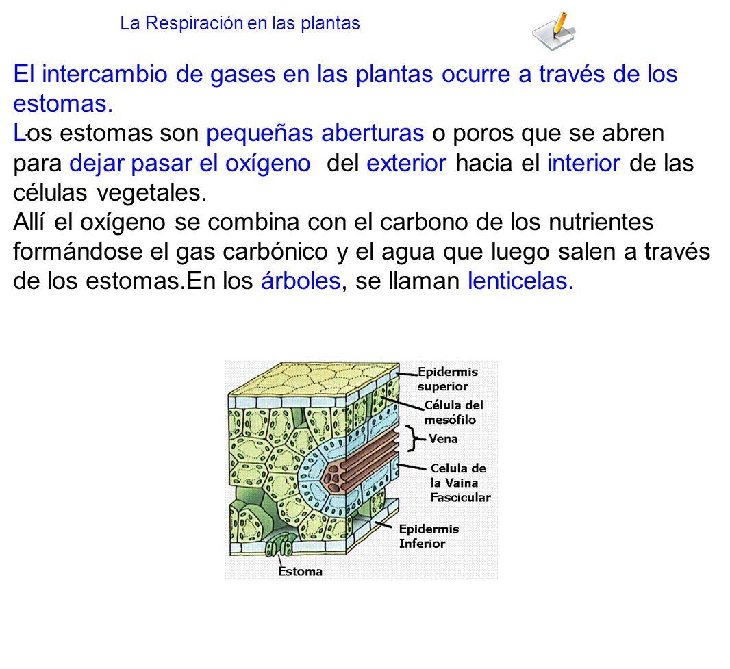 El intercambio de gases en las plantas ocurre a través de los estomas.