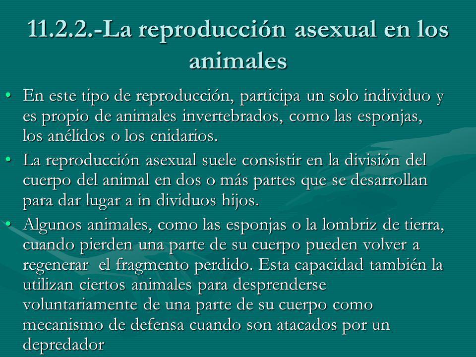 11.2.2.-La reproducción asexual en los animales
