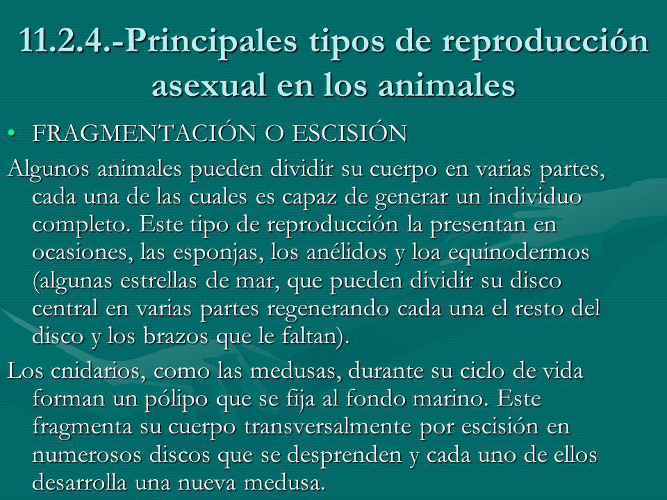 11.2.4.-Principales tipos de reproducción asexual en los animales