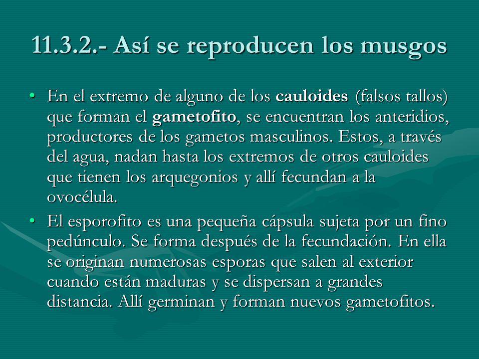 11.3.2.- Así se reproducen los musgos