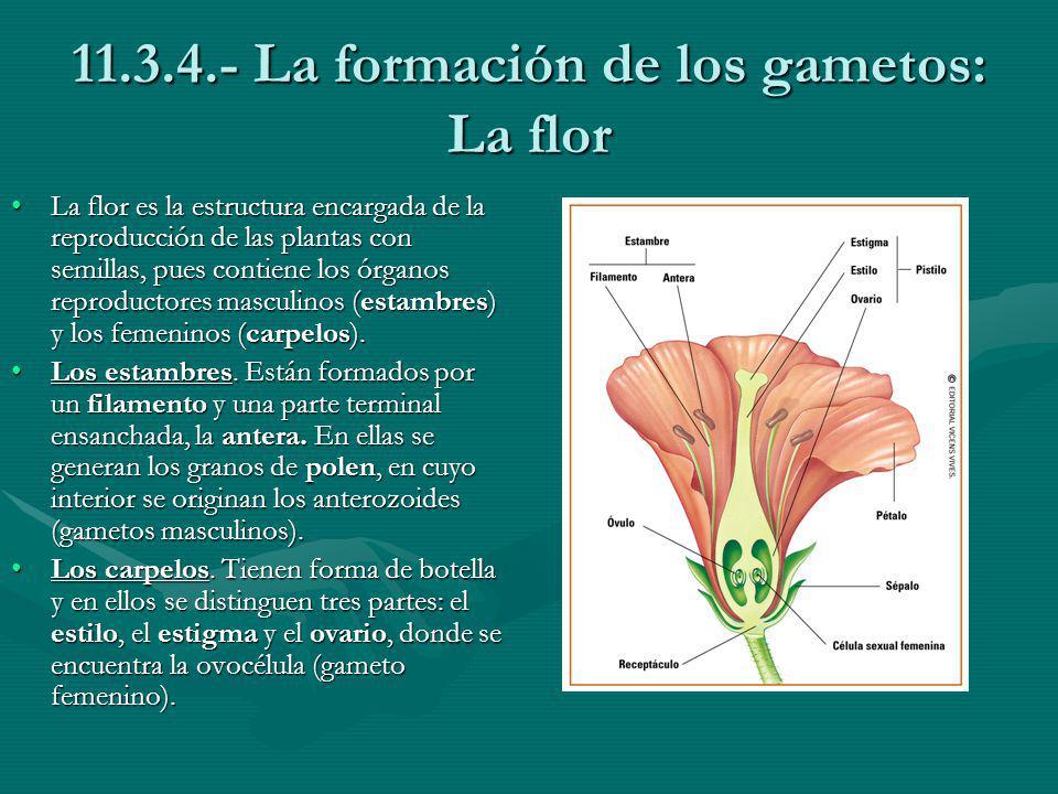 11.3.4.- La formación de los gametos: La flor