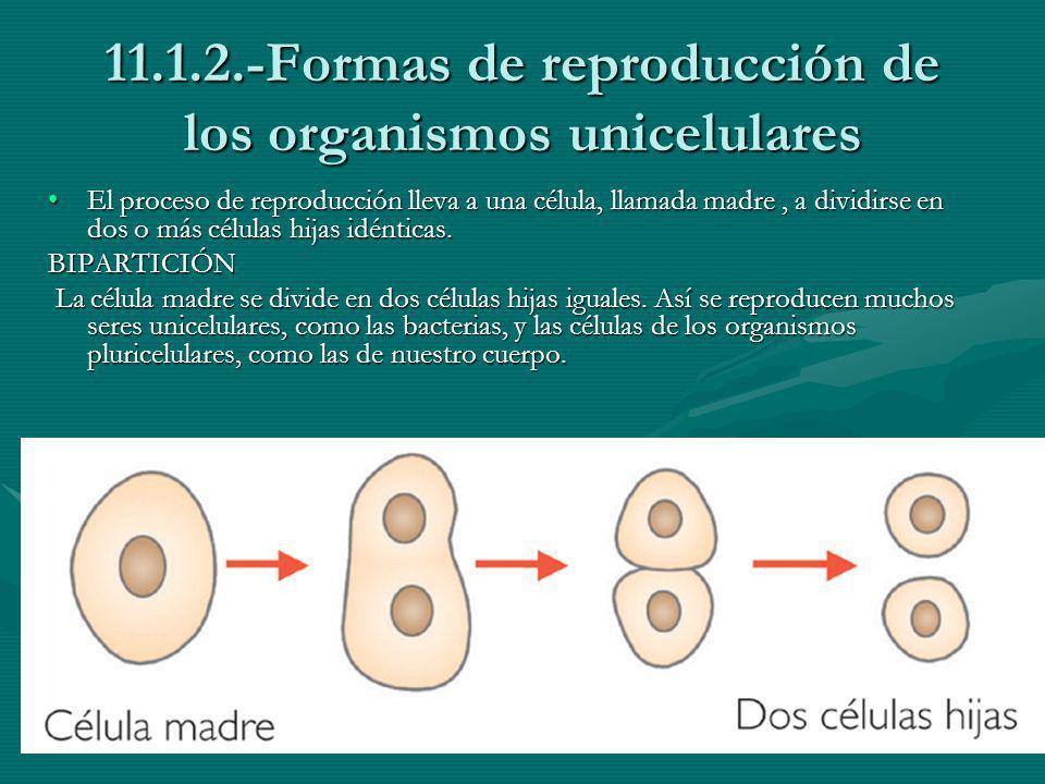 11.1.2.-Formas de reproducción de los organismos unicelulares