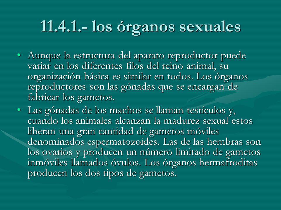 11.4.1.- los órganos sexuales
