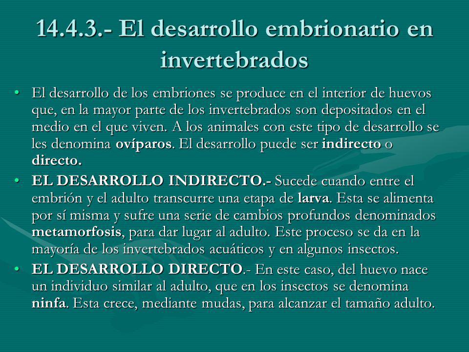 14.4.3.- El desarrollo embrionario en invertebrados