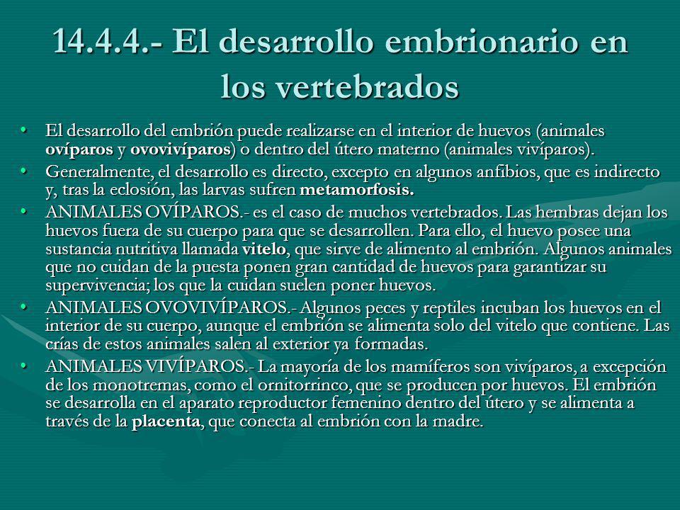 14.4.4.- El desarrollo embrionario en los vertebrados