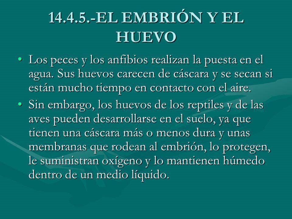 14.4.5.-EL EMBRIÓN Y EL HUEVO