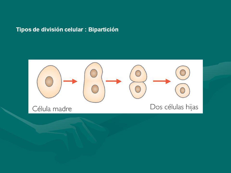 Tipos de división celular : Bipartición