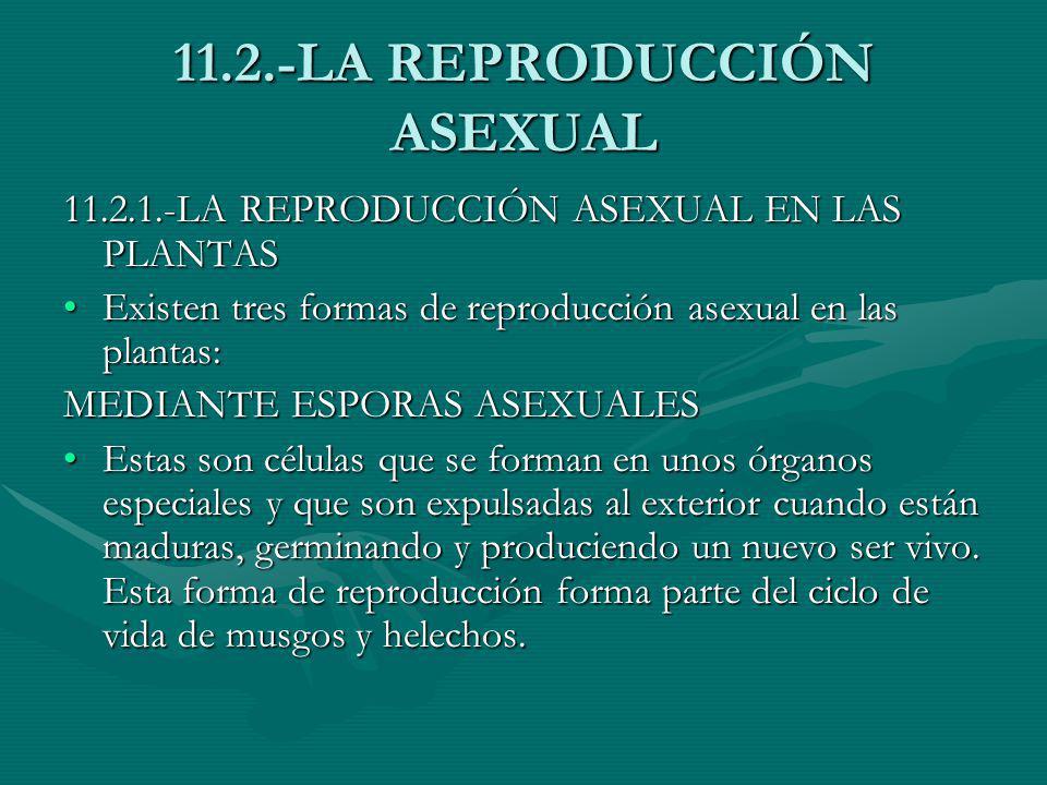 11.2.-LA REPRODUCCIÓN ASEXUAL