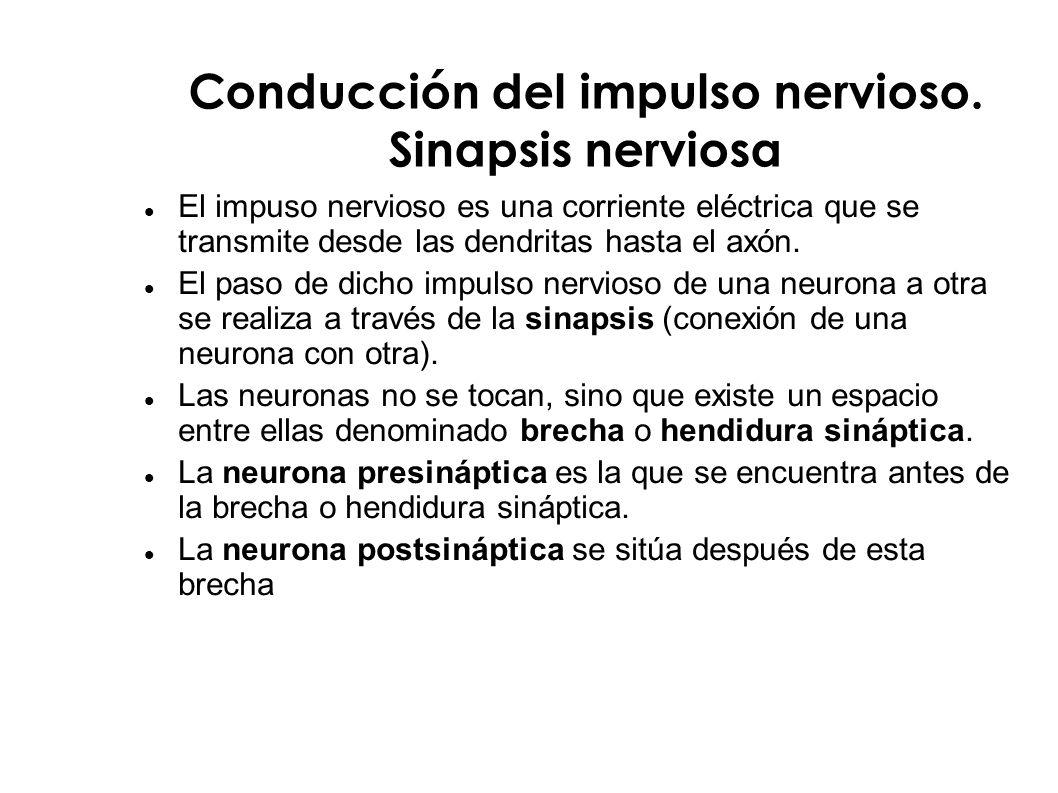 Conducción del impulso nervioso. Sinapsis nerviosa