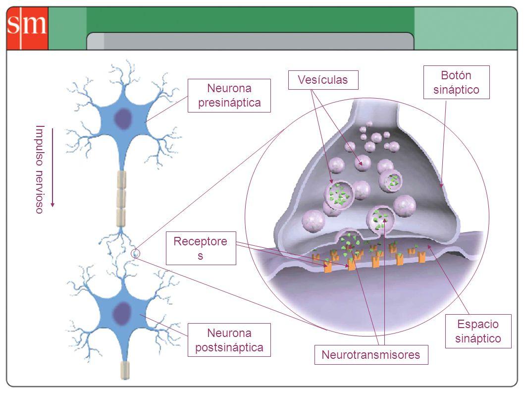 Neurona postsináptica