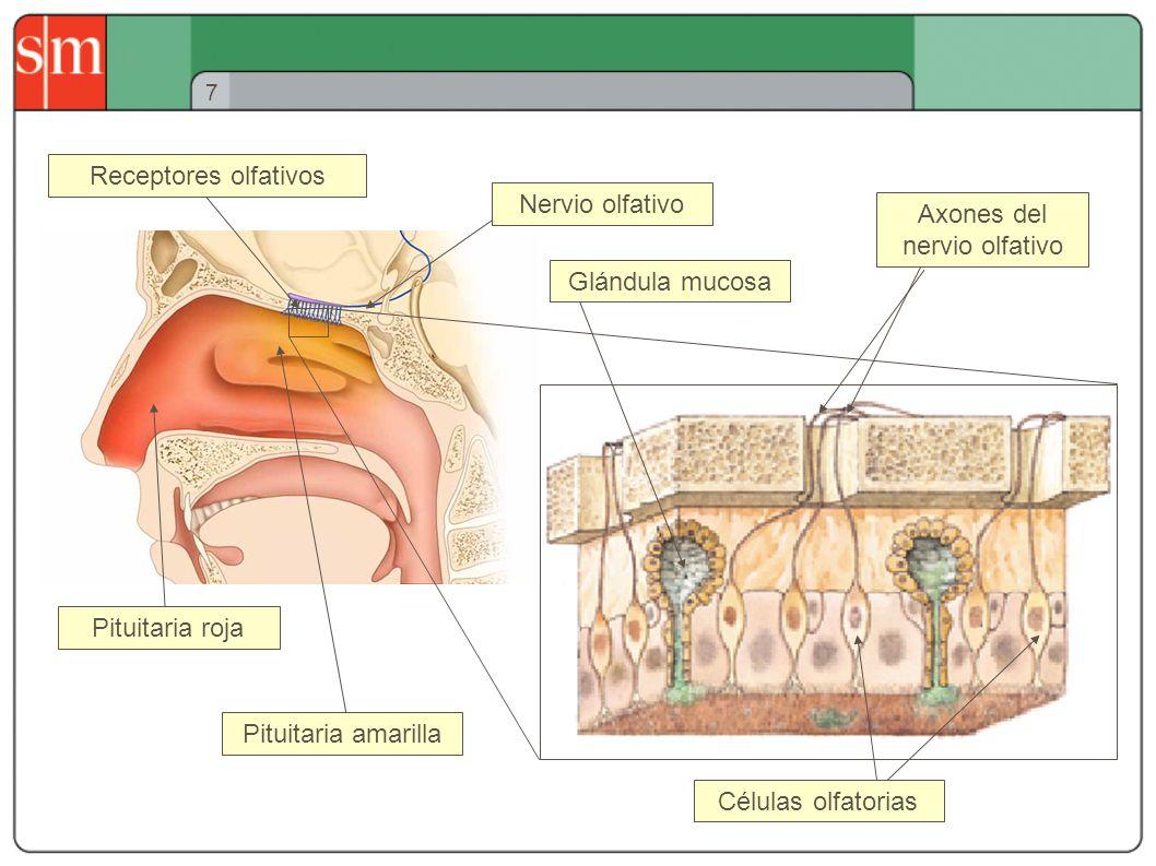 Axones del nervio olfativo