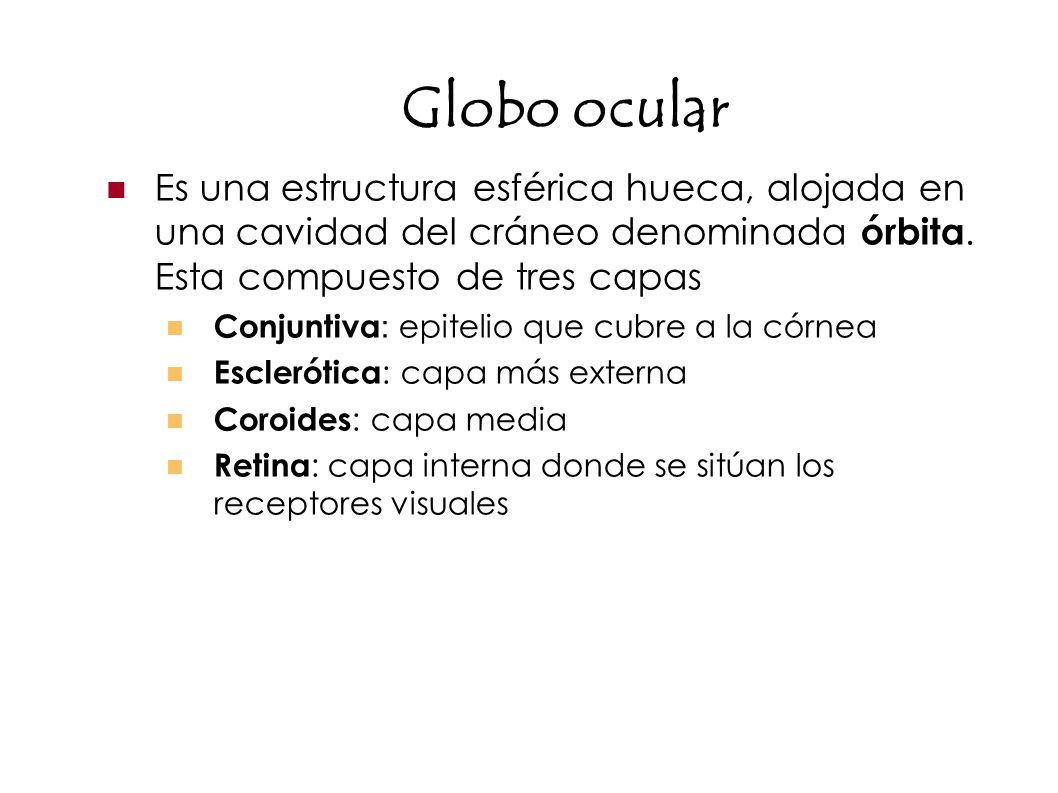 Globo ocular Es una estructura esférica hueca, alojada en una cavidad del cráneo denominada órbita. Esta compuesto de tres capas.