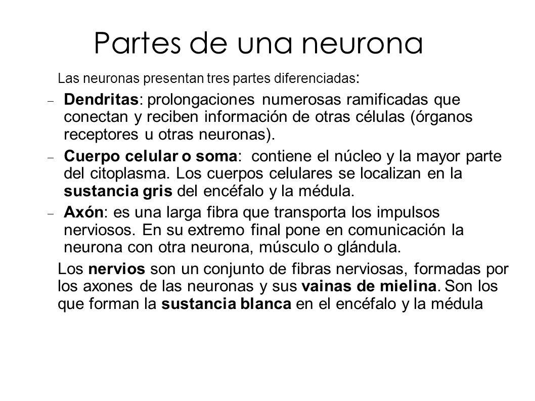 Partes de una neurona Las neuronas presentan tres partes diferenciadas: