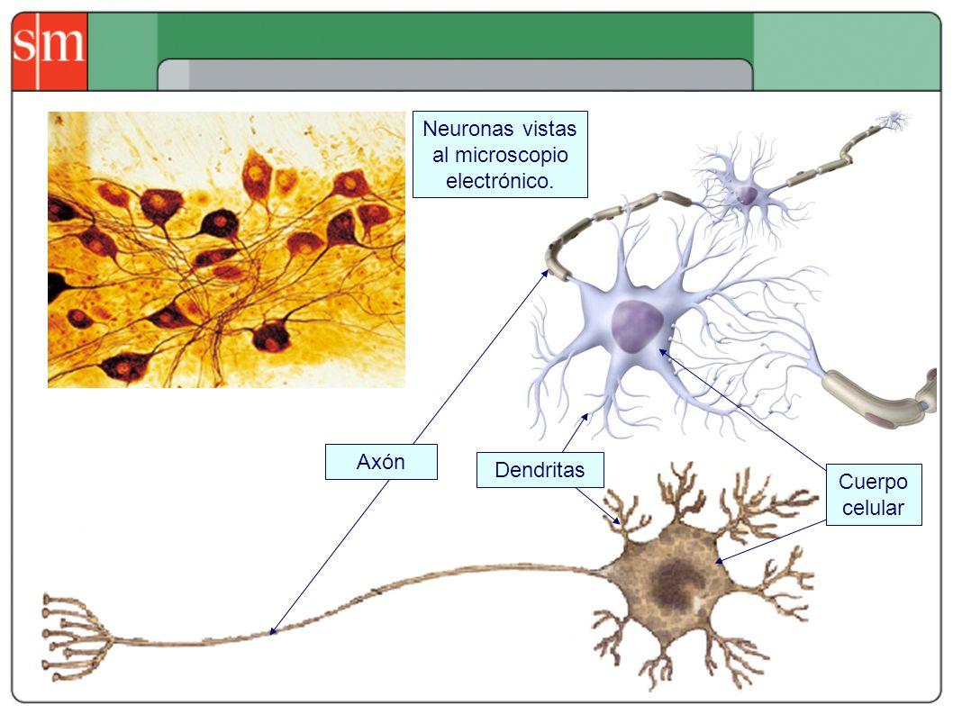 Neuronas vistas al microscopio electrónico.