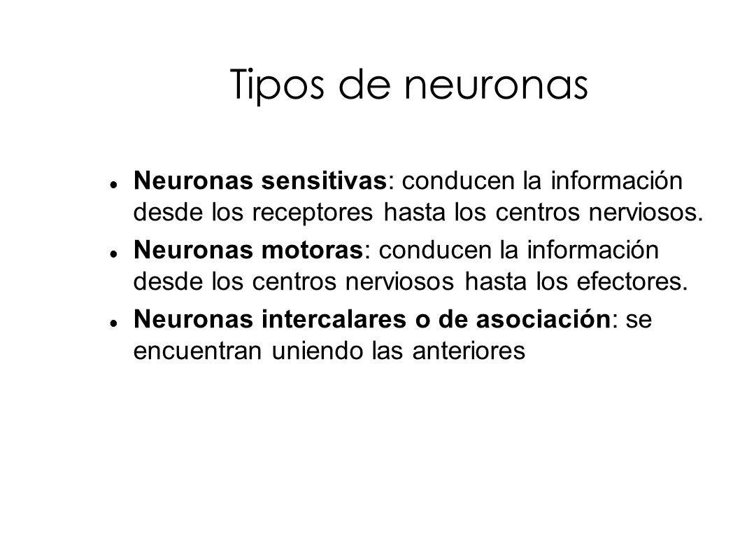 Tipos de neuronas Neuronas sensitivas: conducen la información desde los receptores hasta los centros nerviosos.