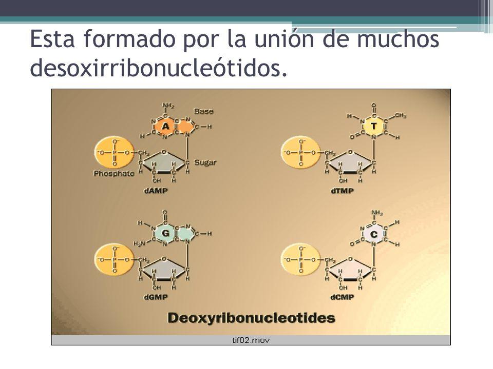 Esta formado por la unión de muchos desoxirribonucleótidos.