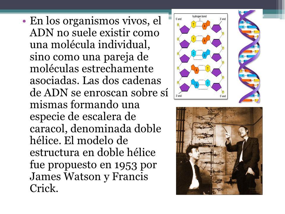 En los organismos vivos, el ADN no suele existir como una molécula individual, sino como una pareja de moléculas estrechamente asociadas.