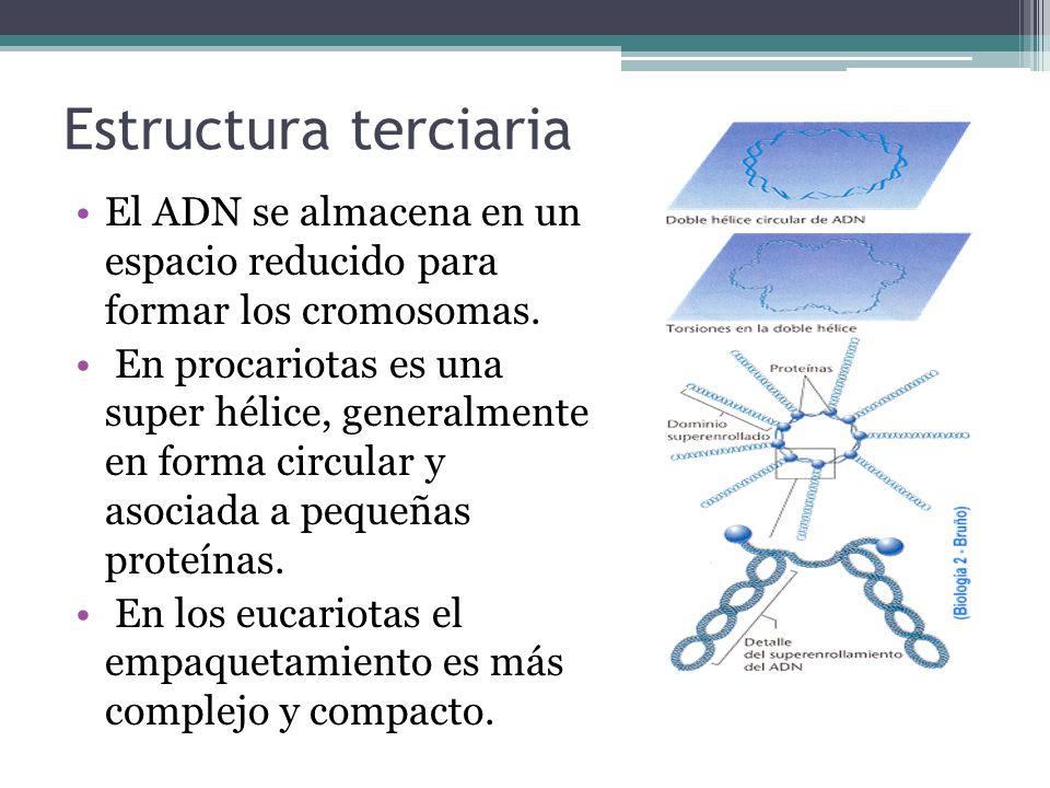 Estructura terciaria El ADN se almacena en un espacio reducido para formar los cromosomas.
