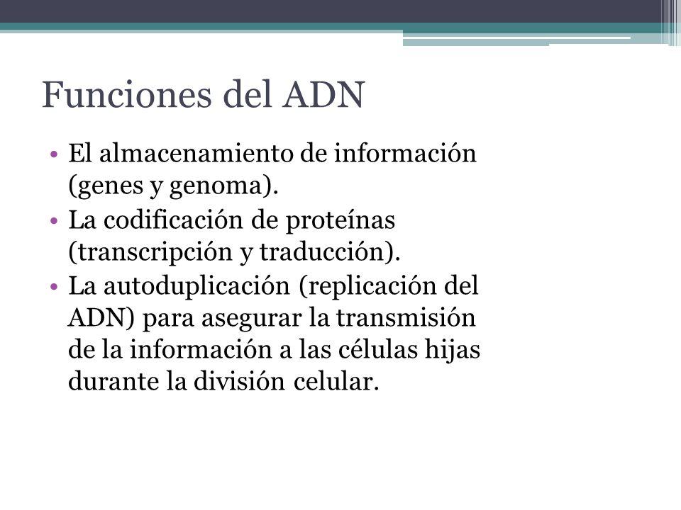 Funciones del ADN El almacenamiento de información (genes y genoma).