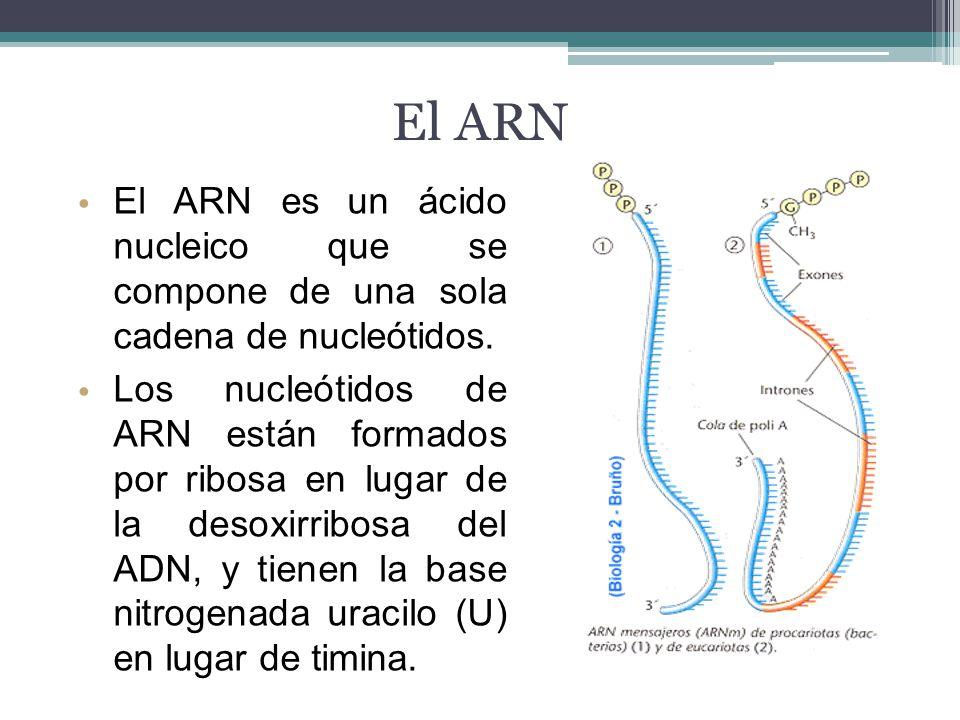 El ARN El ARN es un ácido nucleico que se compone de una sola cadena de nucleótidos.