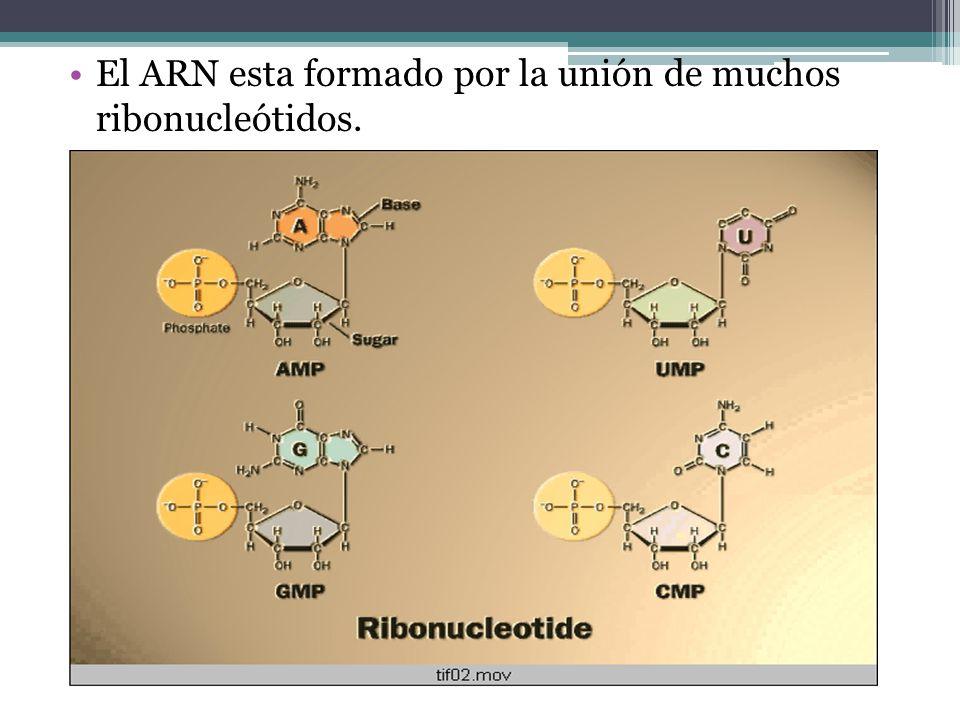 El ARN esta formado por la unión de muchos ribonucleótidos.