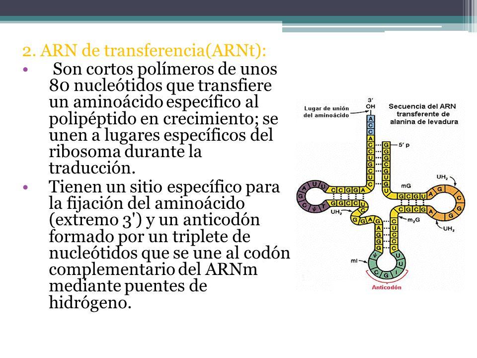 2. ARN de transferencia(ARNt):