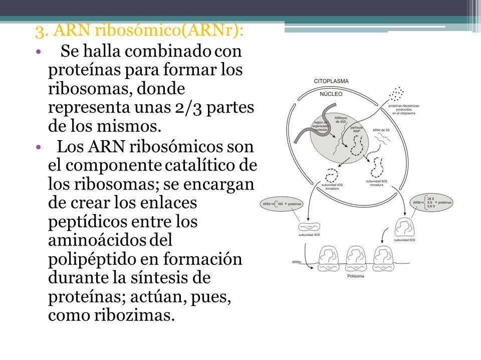 3. ARN ribosómico(ARNr):