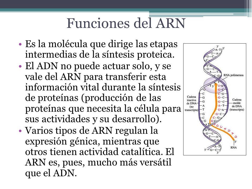 Funciones del ARN Es la molécula que dirige las etapas intermedias de la síntesis proteica.