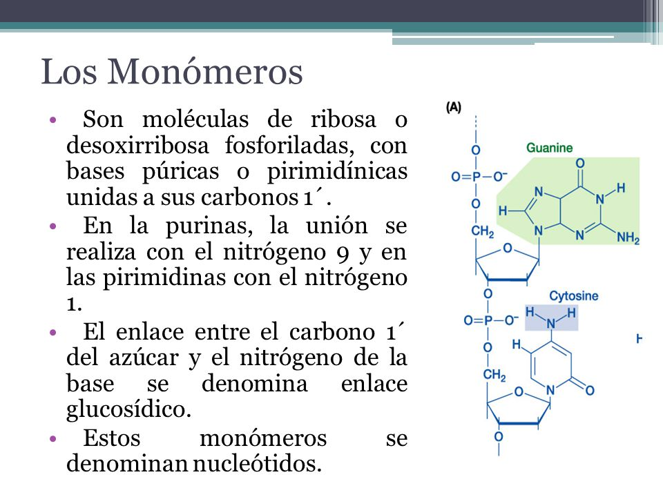 Los Monómeros Son moléculas de ribosa o desoxirribosa fosforiladas, con bases púricas o pirimidínicas unidas a sus carbonos 1´.