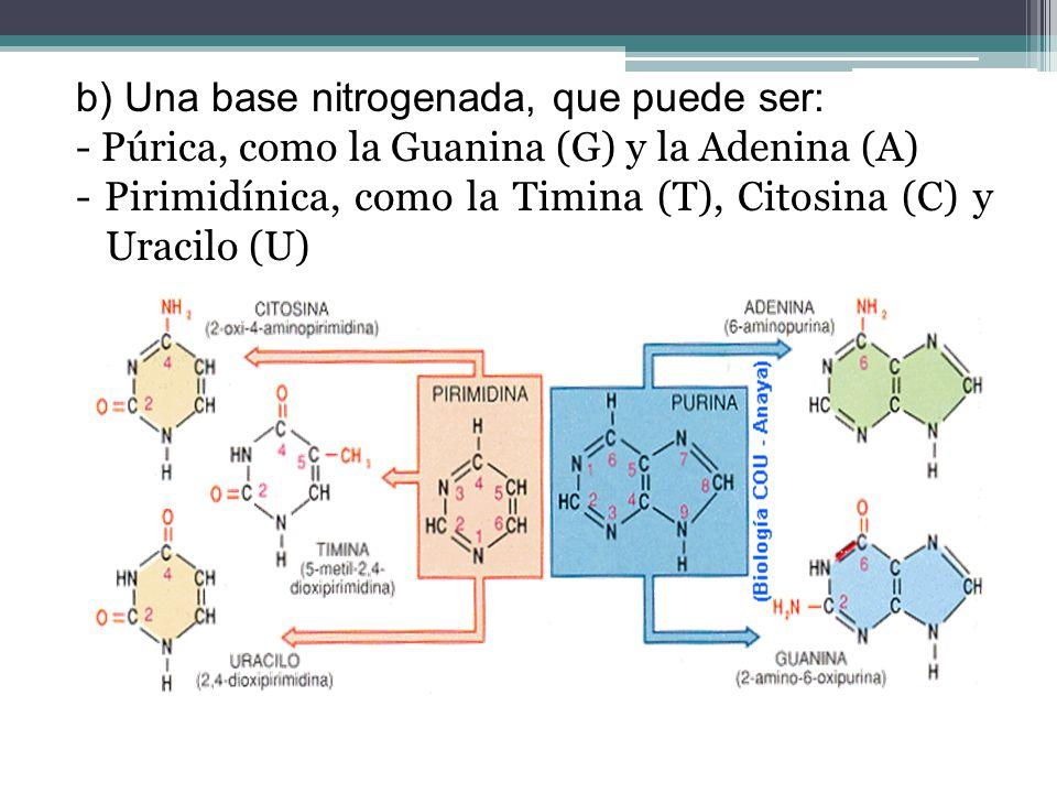 b) Una base nitrogenada, que puede ser: - Púrica, como la Guanina (G) y la Adenina (A) - Pirimidínica, como la Timina (T), Citosina (C) y Uracilo (U)