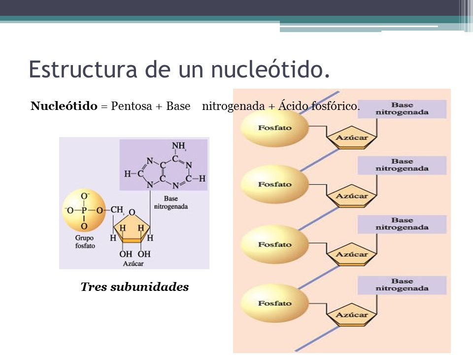 Estructura de un nucleótido.