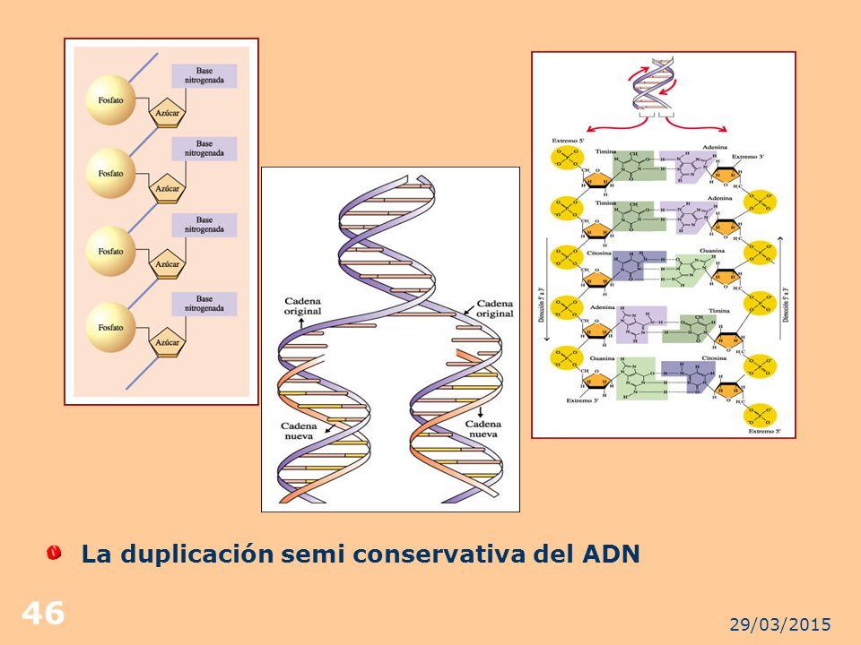 La duplicación semi conservativa del ADN