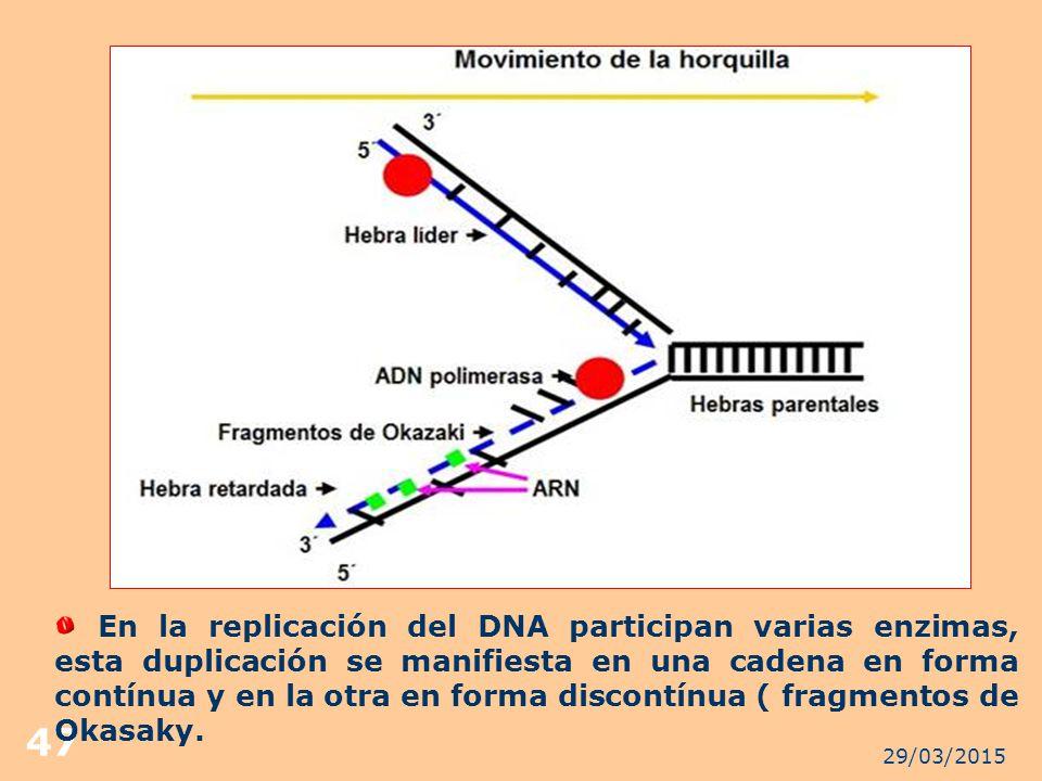En la replicación del DNA participan varias enzimas, esta duplicación se manifiesta en una cadena en forma contínua y en la otra en forma discontínua ( fragmentos de Okasaky.