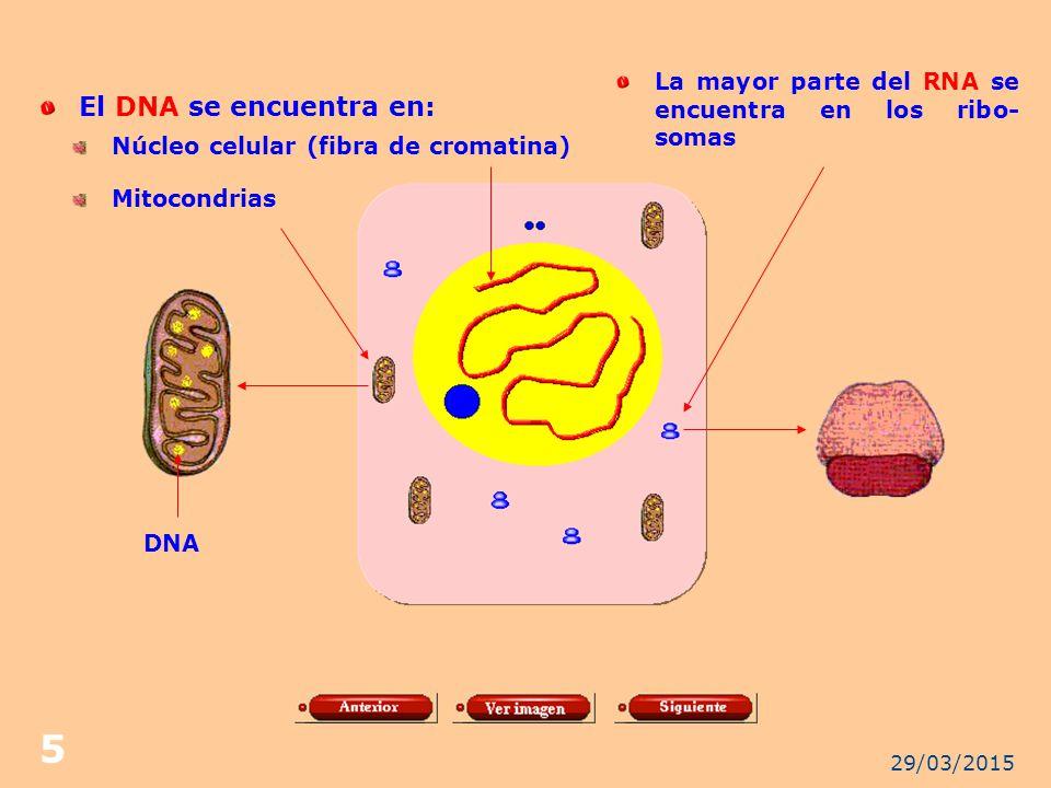 La mayor parte del RNA se encuentra en los ribo- somas
