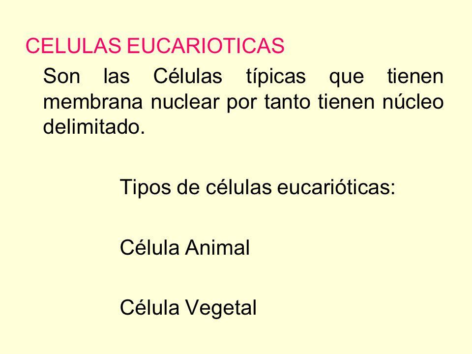 CELULAS EUCARIOTICAS Son las Células típicas que tienen membrana nuclear por tanto tienen núcleo delimitado.
