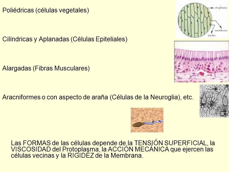 Poliédricas (células vegetales)