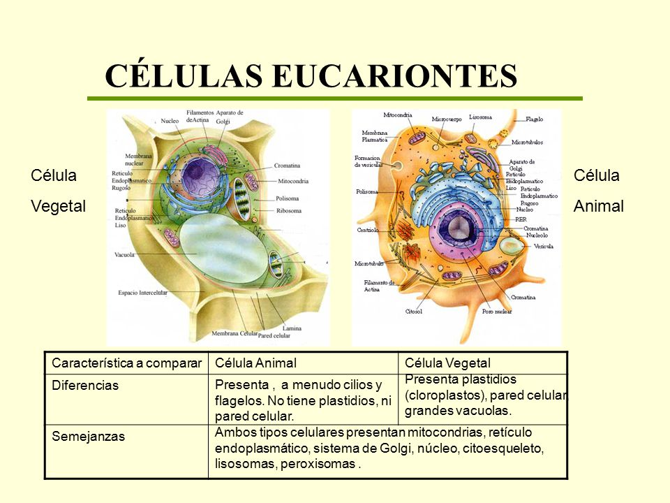CÉLULAS EUCARIONTES Célula Vegetal Célula Animal