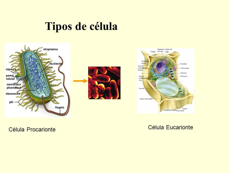 Tipos de célula Célula Eucarionte Célula Procarionte
