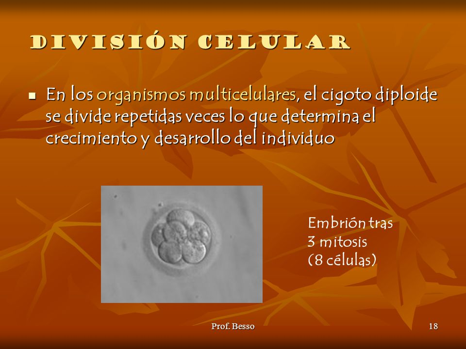 División celular Embrión tras. 3 mitosis. (8 células)
