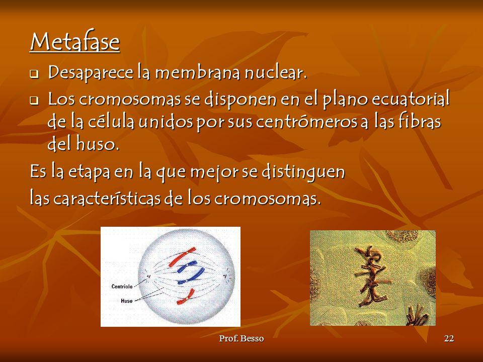 Metafase Desaparece la membrana nuclear.
