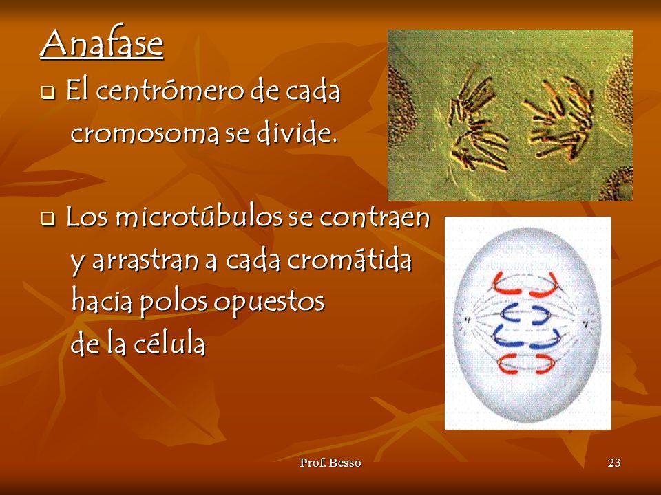 Anafase El centrómero de cada cromosoma se divide.