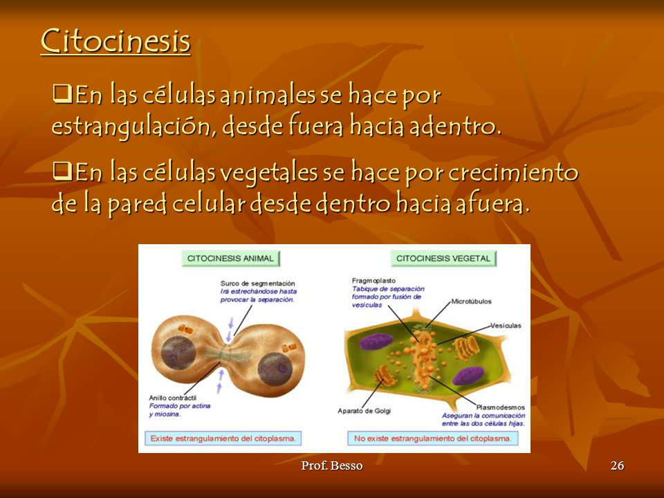 Citocinesis En las células animales se hace por estrangulación, desde fuera hacia adentro.