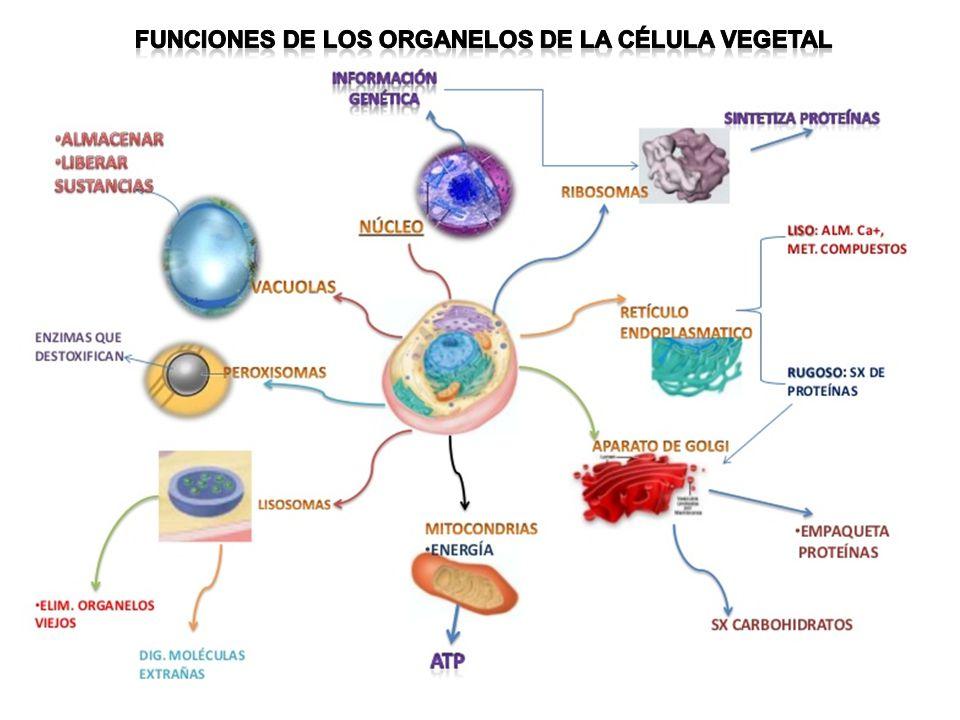 Funciones de los organelos de la célula vegetal